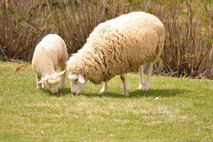 ウールは羊の毛